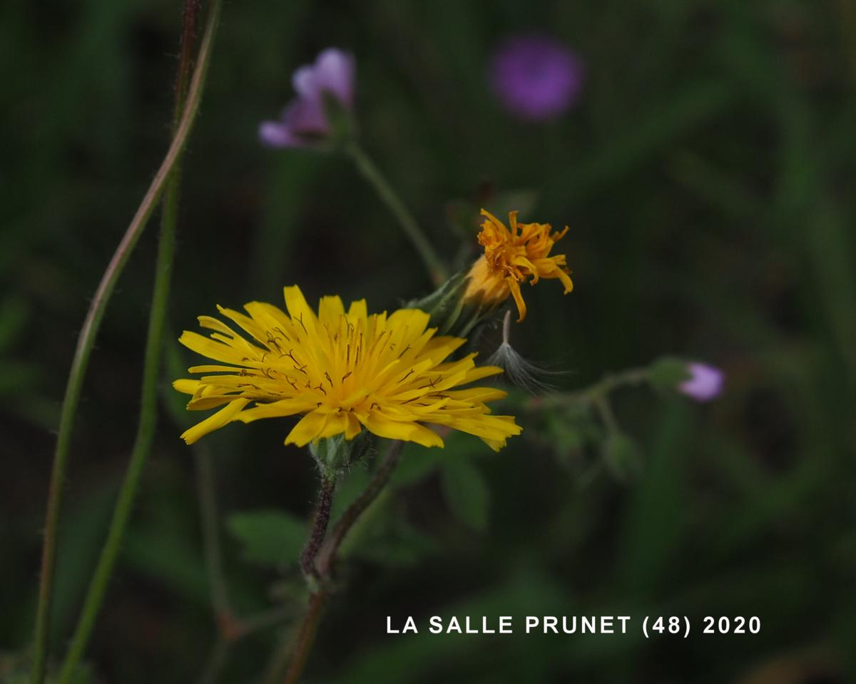 Hawk's-beard, [Nimes] flower